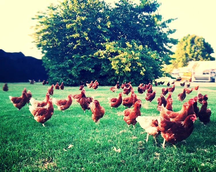 Free-range hens grazing in a field.